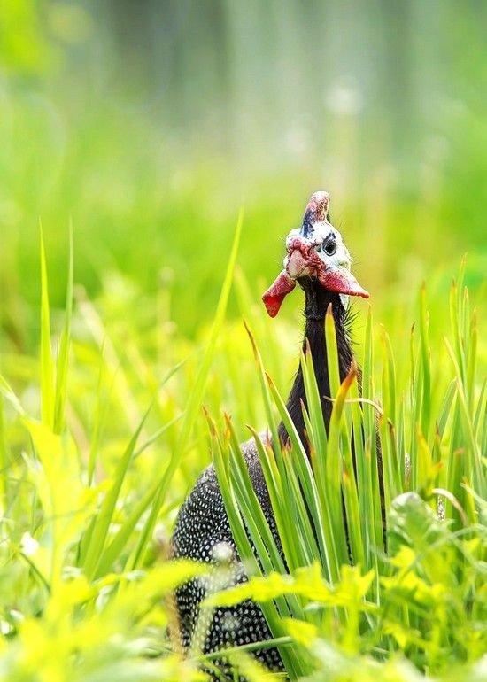 Питается цесарка в основном растительной пищей. Ягоды, семена, листья кустарников, трава — любимая еда этих пернатых