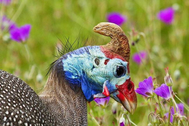 Самец имеет крупный загнутый гребень на голове и клюв с большими наростами, которые называют сережками. По этим признакам определяют пол цесарки