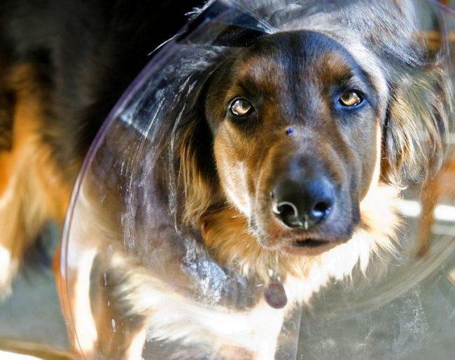 При лечении лишая, важно не дать собаке вылизывать и расчесывать больное место. Для этого можно использовать специальные воротники