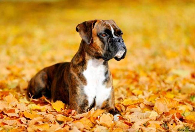 Эффективной мерой профилактики лишая у собак является предварительная противоинфекционная вакцинация. Такая процедура может быть использована не только в качестве лечения, но и как метод предупреждения болезни