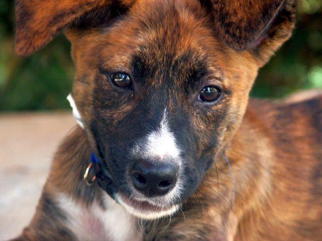 Лишай, характерное заболевание для уличных животных, казалось бы, не может встретиться у домашних питомцев, однако инфекция такого типа не является исключением и для ухоженных песиков. В это статье вы узнаете, чем лечить лишай у собак