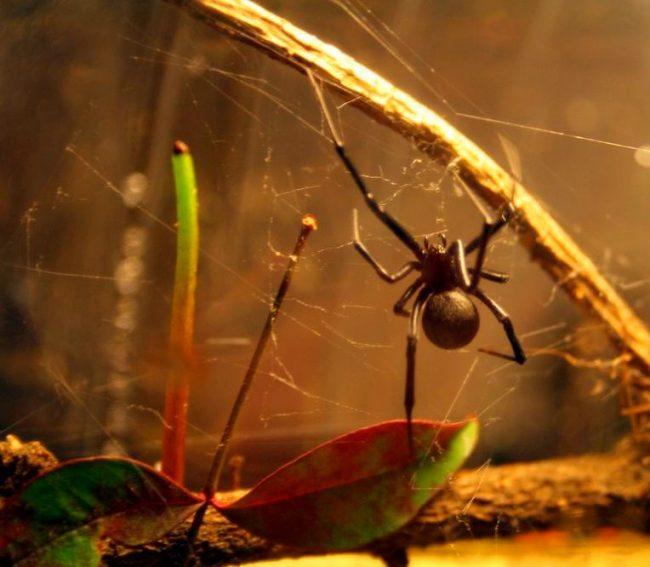 Как и многие пауки, черная вдова ест других паукообразных и насекомых, которые попадают в ее сети