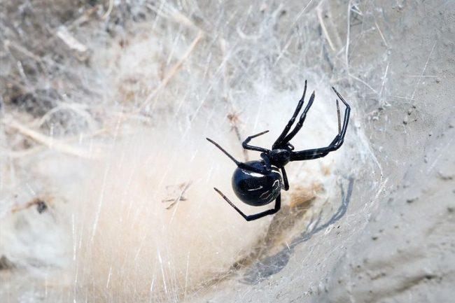 Их паутина, как известно, прочнее шелка. Черная вдова не плетет красивую паутинку, вместо этого она делает толстые полотна и ловит в них жуков, мух, кузнечиков, бабочек и других пауков