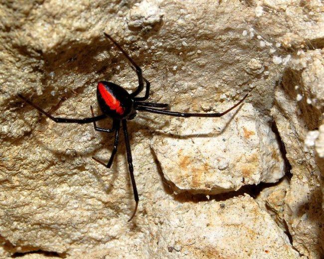 Черная вдова - паук необычный, известный уникальной внешностью и каннибализмом. Он считается наиболее ядовитым пауком в Северной Америке. Однако, его укус редко заканчивается смертельным исходом для человека