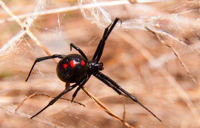 Важной характеристикой черной вдовы являются его лохматые лапы-гребни. Ряд сильных, изогнутых щетинок расположен на задней паре ног и используется, чтобы стянуть паутину над захваченной добычей