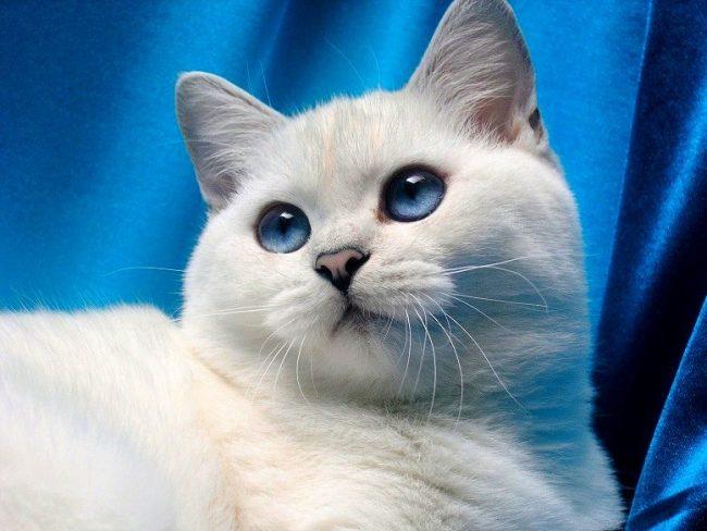 Этот прекрасный голубоглазый британец - кошка шиншилла с переливающимся окрасом шерсти