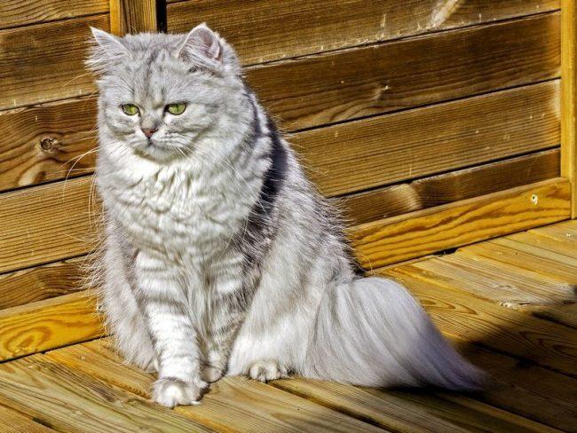 Деликатная британская шиншилла кошка сильно отличается своим поведением от традиционного британца. У нее гипертрофированный аристократизм и очень мягкий характер