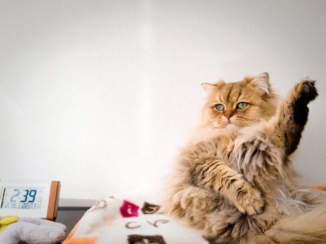 """Золотистая кошка шиншилла говорит """"Вкусненькое там!"""""""