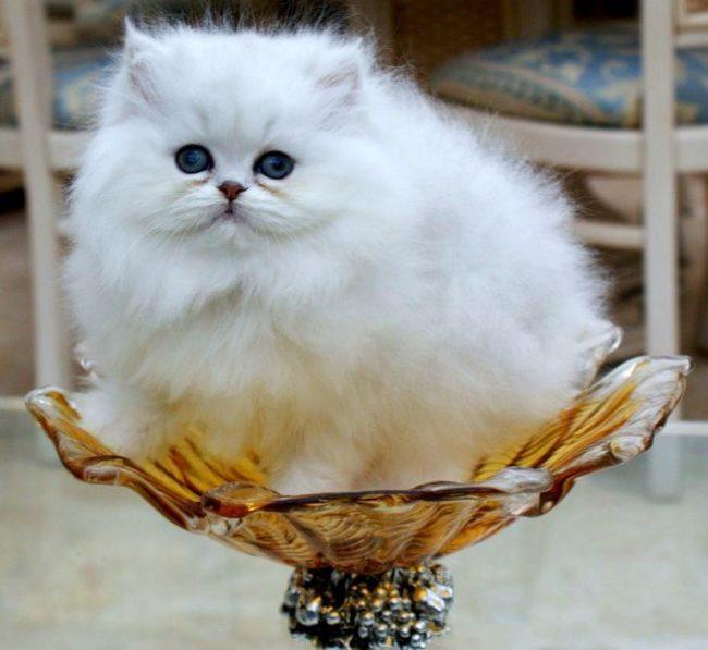 Великолепная персидская шиншилла кошка – это яркий и центральный представитель породы. Для нее характерен игривый нрав и любознательность. Она отлично подойдет хозяевам с таким же непоседливым поведением
