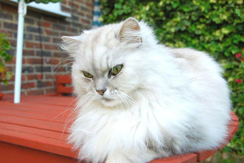 Кошки породы шиншилла