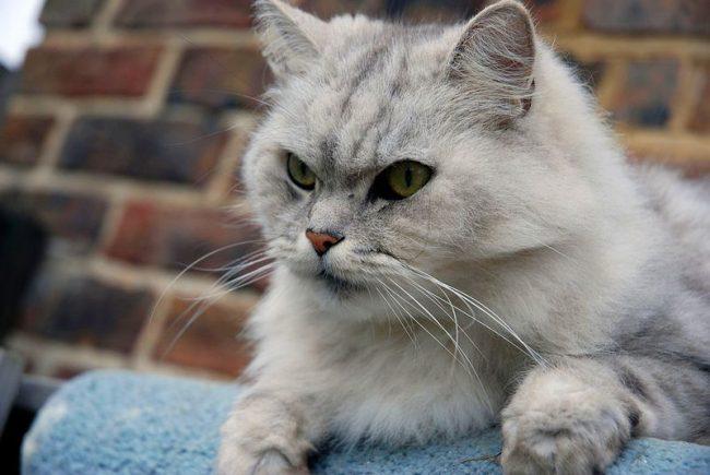 Кошка шиншилла отличается особой шерсткой, играющей тончайшими переходами от светлого к темному. Выделяют серебряных и золотых шиншилл