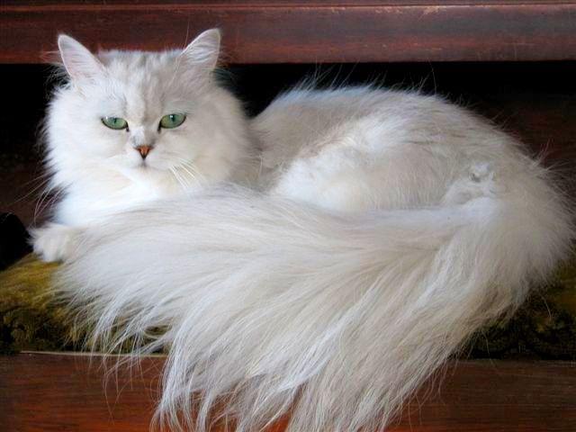 Элегантная и изящная порода кошек шиншилла часто становится королевой выставок, но чтобы сохранить изумительную красоту животного, приходится много трудиться. Решившись стать владельцем серебристой аристократки, грамотно рассчитайте свои возможности