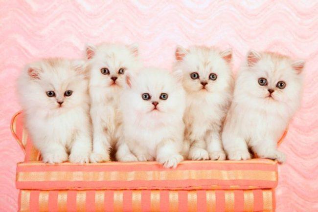 Кошка шиншилла. Купить котенка шиншиллу сложно, если не сказать, очень проблематично. Основная трудность заключается в том, что великолепный окрас животного патологически нестабилен