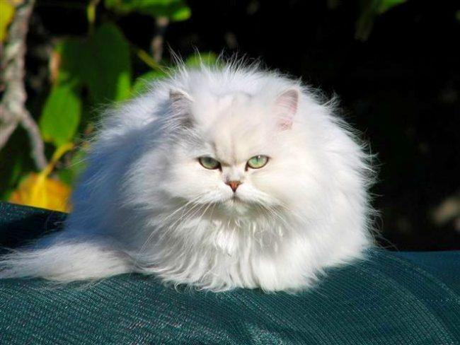 Chinchilla_cat_20-650x488.jpg