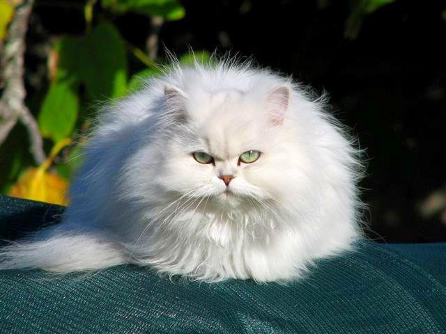 Кошка шиншилла - это не обособленная порода, а своеобразный оттенок шерсти у персов и британцев