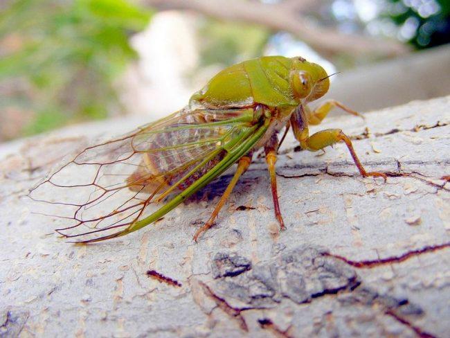 Цикада обладает способностью производить мелодичные звуки с помощью особых органов, которые называются цимбалы. Они представляют собой мембраны, расположенные на брюхе самца