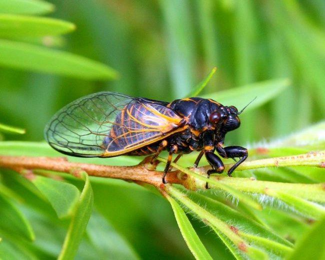 Цикада питается соком деревьев, кустарников и травянистых растений. Для этого отлично приспособлен ее хоботок, которым она прокалывает кору или поверхностный слой и высасывает сок