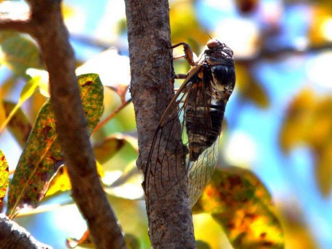 Цикада. Представители подотряда цикадовых характеризуются тем, что все их виды сильно похожи друг на друга. Отличия наблюдаются в размерах и окраске