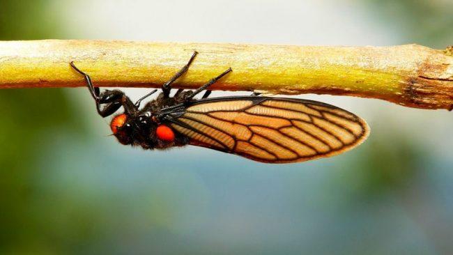 Цикада отличается долгим циклом жизни как для насекомых. У большинства видов он длится от 2 до 4 лет. Периодическая цикада — рекордсмен в этой части