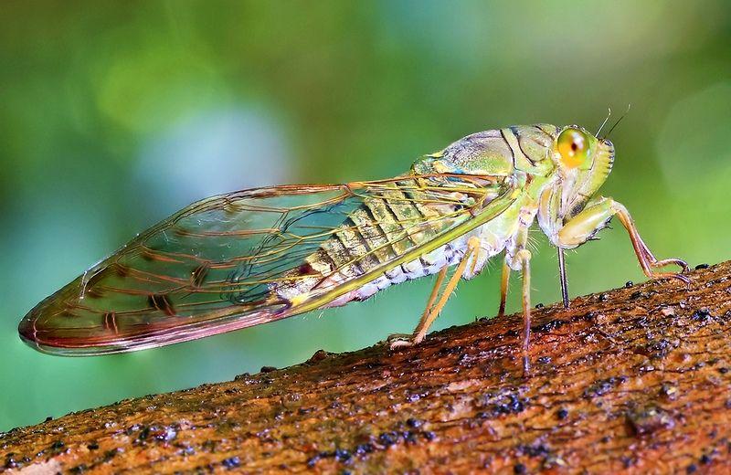 Строение цикады