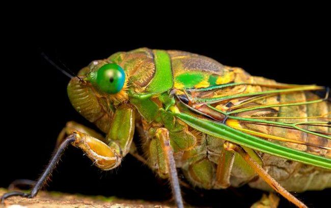 Цикада. Все семейство этих «музыкальных» насекомых напоминает ночных бабочек. Особи имеют короткую голову с сильно выдающимися вбок сложными глазами. Еще 3 простых глаза треугольником расположены на темени. Усики короткие, состоящие из 7 члеников. Ротовой аппарат представлен 3-членистым хоботком