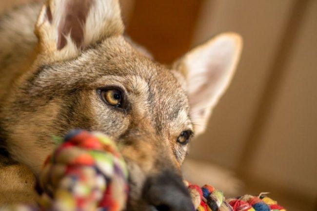 Находиться в кругу семьи и получать знаки внимания для волчака – то еще удовольствие! Однако если он видит, что домашним не до него, пес не будет навязываться