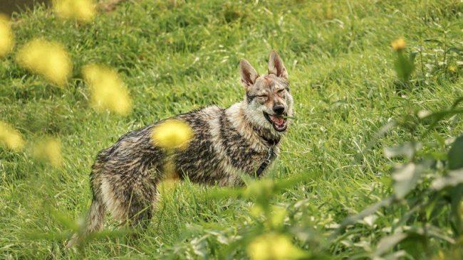 Не многие четвероногие друзья человека имеют такой темперамент, которым отличается чехословацкая волчья собака. Купить ее лучше тем, кто уже имеет опыт в воспитании и дрессировке песиков с характером