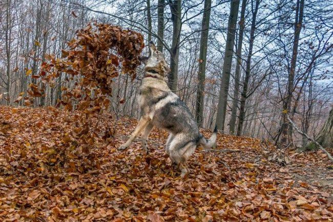 Собаке абсолютно все равно, какие размеры у того, кто обижает его хозяев или их детей, – недоброжелатель испытает на себе всю свирепость волка