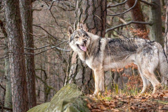 Для проведения военных операций нужен был пес, обладающий идеальным набором качеств – умом, стайностью, небольшими размерами, выносливостью, послушанием и так далее. Собаковод Карел Харт придумал, как удовлетворить данный запрос военных. Он скрестил немецкую овчарку с диким карпатским волком и получилась чехословацкая волчья собака