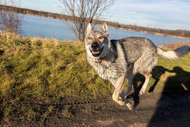 Регулярные прогулки с хорошими физическими нагрузками и грамотной дрессурой – это основа для взаимопонимания с волчаком. От недостатка умственных и физических нагрузок чехословацкая волчья собака может стать упрямой и неуправляемой