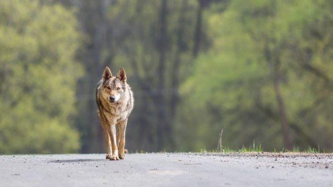 Изначально чехословацкая волчья собака выводилась для участия в военных операциях. Он также хорош для поисково-спасательных работ, в защитно-караульной службе, обостренные собачьи инстинкты и волчье здоровье позволяют ему быть хорошим охотником и следопытом, а преданность стае и бесстрашие дают возможность задействовать пса для защиты стад домашних животных