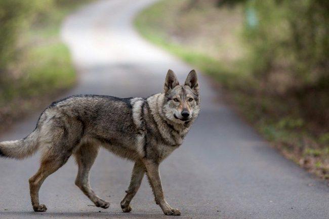 Чехословацкая волчья собака отлично уживается со всеми домашними питомцами, в том числе и с себе подобными, хорошо относится к друзьям семьи