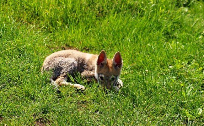 Щенок чехословацкой волчьей собаки похож на маленького волчонка