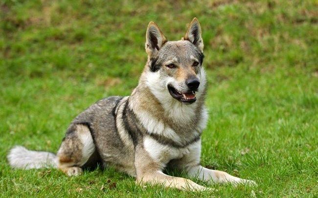 Свободолюбивый и преданный, добродушный и самостоятельный, этот волк в собачьей шкуре вызывает неподдельное восхищение