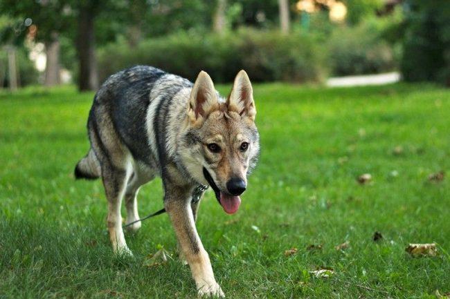 Самые лучшие качества диких и домашних животных воплотила в себе чехословацкая волчья собака