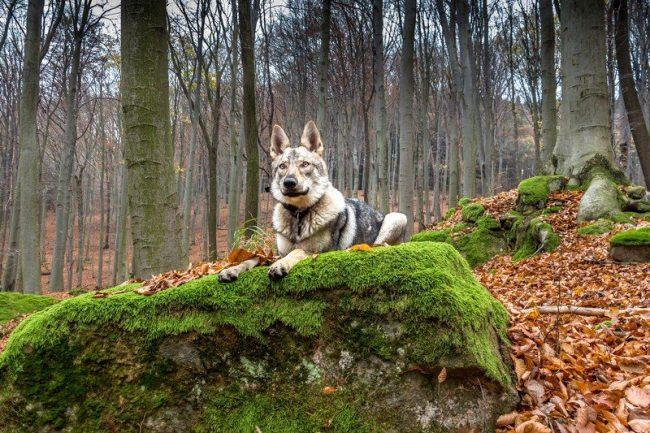 Чехословацкая волчья собака способна принимать адекватные решения, если по близости нет хозяина. К примеру, она не будет ждать команды, чтобы спасти тонущего ребенка