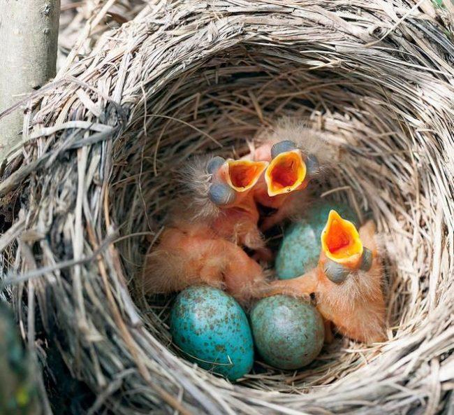 Гнезда у дроздов сложены из веточек, мха, листочков, корешков, укрепленных глиной или землей. Можно встретить гнезда и на деревьях, и на земле, и в кустах. Все зависит от того, где, по мнению дрозда, безопасней