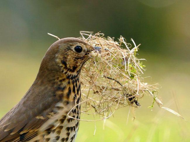 Дрозд. За год самка несется до пяти раз по 4 - 5 яиц. Через две недели появляются из яиц птенцы. В воспитании, кормлении птенцов принимают участие оба родителя
