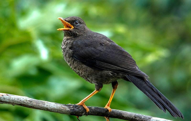дрозды фото птицы