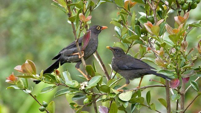 Птица дрозд живет в Азии, Европе и Америке. Эти птицы теплолюбивые, то есть перелетные, поэтому зиму предпочитают проводить в южных широтах