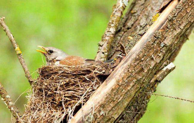 Дрозд. Если вы надумали поймать дрозда, лучше всего заниматься этим ранней весной, пока птицы еще не разбились на пары и не начали вить гнезда