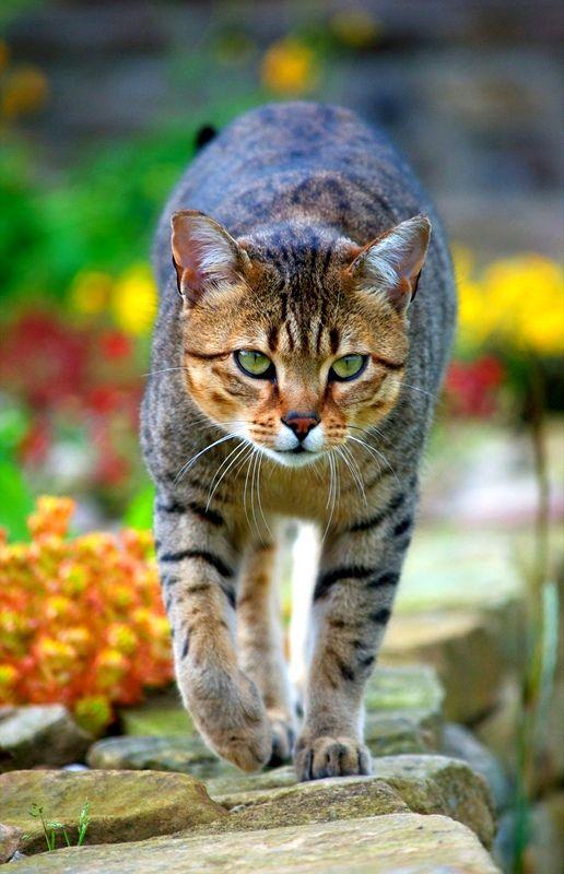 """Одной из характерных особенностей египетской кошки являются """"подкрашенные"""" глаза в стиле Нефертити"""