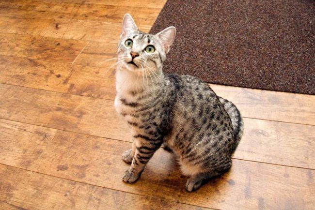 Египетская мау – это, так называемая, кошачья элита, поэтому питание у нее должно быть соответствующее. Выбирая корма, отдавайте предпочтение премиум и супер-премиум классам