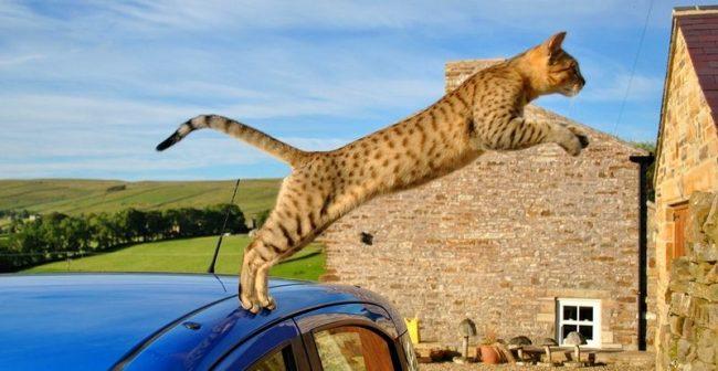 Египетская мау – настоящая чемпионка по бегу среди кошачьих. Нет ни одной другой породы, которая могла бы развивать скорость до 58 км/час