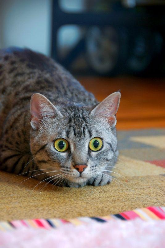 Египетская мау может похвастаться навыками охотника. Благодаря прекрасному зрению и слуху, кошка ловко охотится за мелкими грызунами