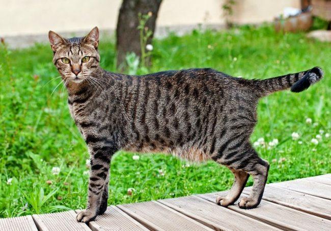 Кошки египетские мау очень любят общаться с хозяином. Они издают множество различных звуков. Такой своеобразной песней киски выражают всю гамму своих чувств