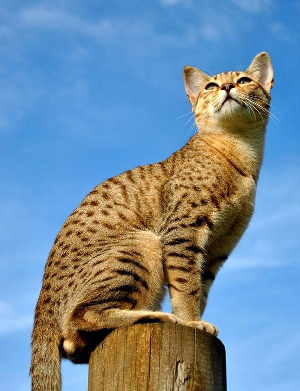 Порода египетский мау отличается любовью к своему потомству. Часто коты помогают кошкам во время родов, а после активно участвуют в воспитании малышей