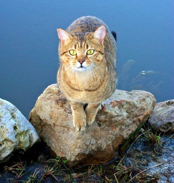 Редко какая кошка относится с такой же любовью к воде, как египетская мау. Эти кисы любят играть лапками в воде, купаться