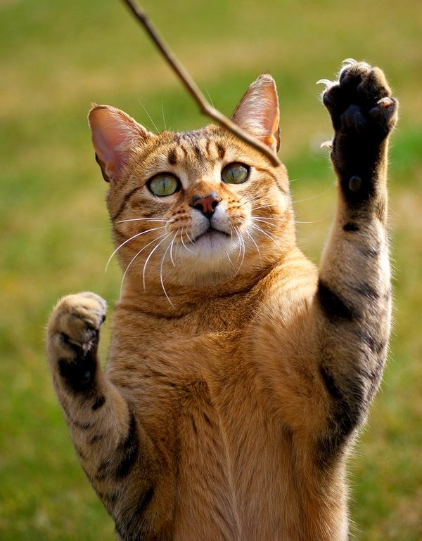 Египетская кошка не любит праздно проводить время, этой кисе по душе активные и веселые игры, прогулки. Мурлыке нужно подарить несколько игрушек, чтобы занять ее в ваше отсутствие