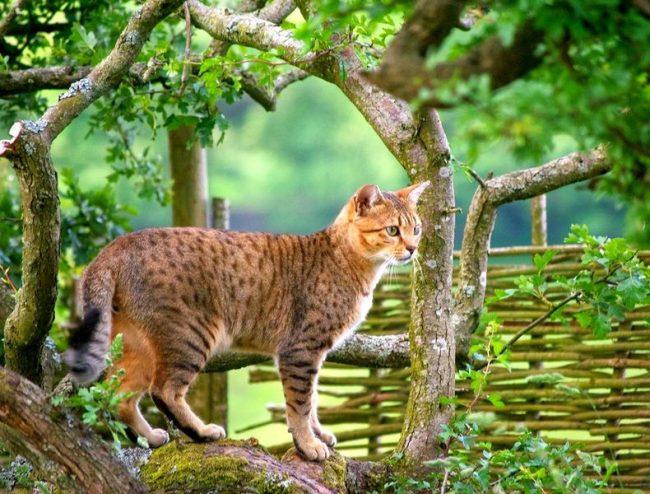 Гордый обладатель египетской мау станет не просто владельцем настоящей кошачьей элиты, а также обретет смышленого собеседника, ловкого охотника и преданного друга